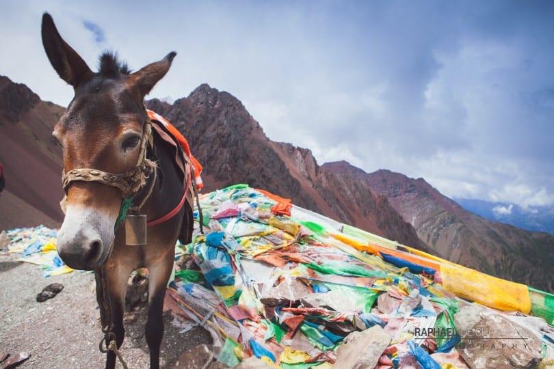Dans la spiritualité des Tibétains, chacun des drapeaux (au sol, près du mulet) incarne une prière qui s'adresse aux esprits afin d'obtenir des faveurs ou d'apaiser leur colère. On les retrouve en quantité impressionnante dès qu'on se rend sur un site sacré du bouddhisme.