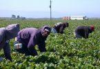 Travailleurs migrants latino-américains champ de fraises